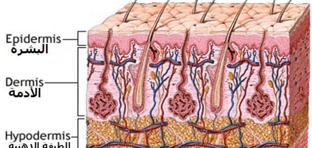 Image result for طبقات الجلد الثلاث