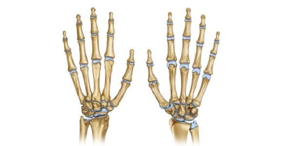 كم عدد عظام اليد