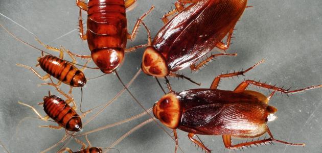 طريقة القضاء على الصراصير نهائياً