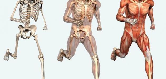 ما هو عدد العظام الموجودة في جسم الإنسان
