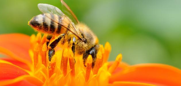كيف أستخدم غذاء ملكات النحل