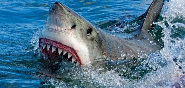 كم عدد أسنان القرش