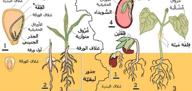 مظاهر النمو عند النبات