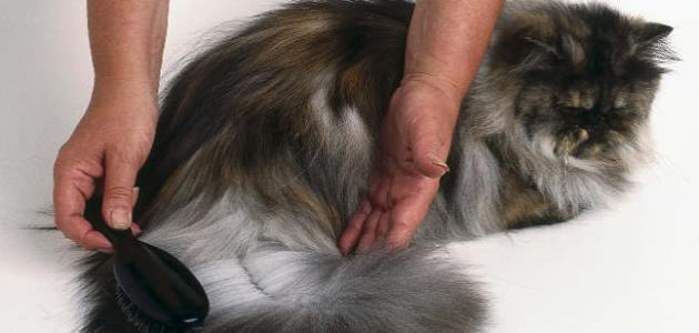 علاج تساقط شعر القطط الشيرازية