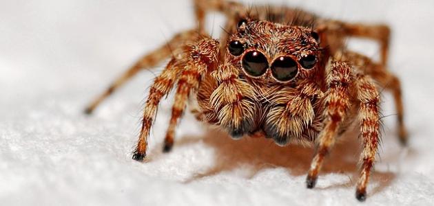 كم عدد عيون العنكبوت