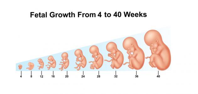 كيف يتكون الجنين في الشهر الثاني