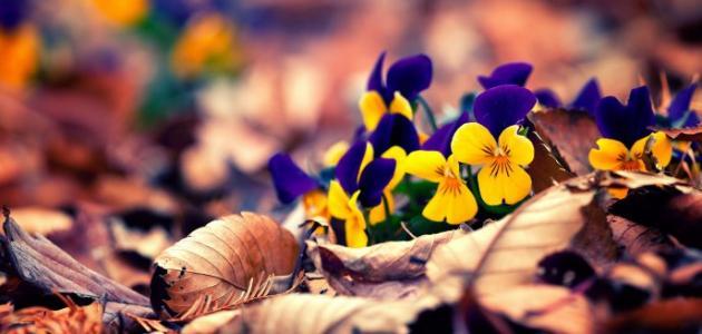 ماذا تعني ألوان الورود