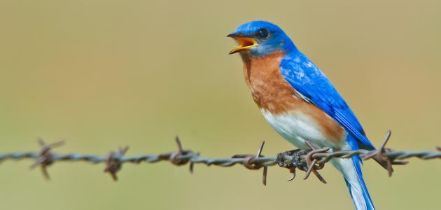 كيف تتنفس الطيور