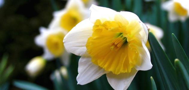 تزرع هذه النبتة لالوانها الجميلة و ازهارها ذات الالوان المتعددة، و هي تنمو  بشكل مستقيم و تشابه بعض انواع الدراسينا