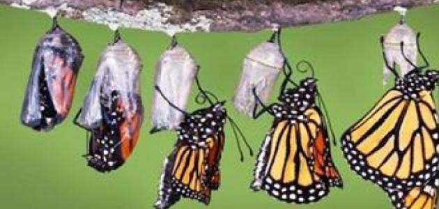 مراحل دورة حياة الفراشة موضوع