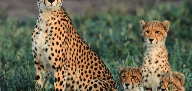 صغير الفهد