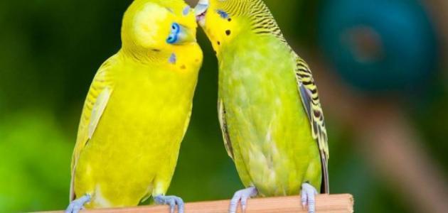 معلومات عن طائر البادجي