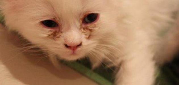 علاج الفطريات عند القطط