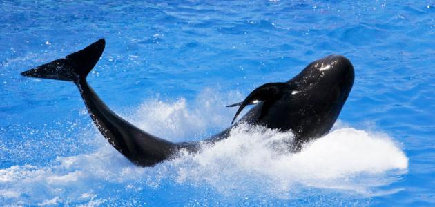 كيف يولد الحوت