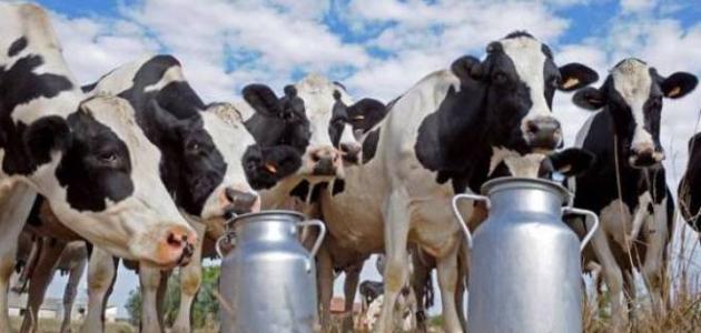 أمراض الأبقار وطرق علاجها