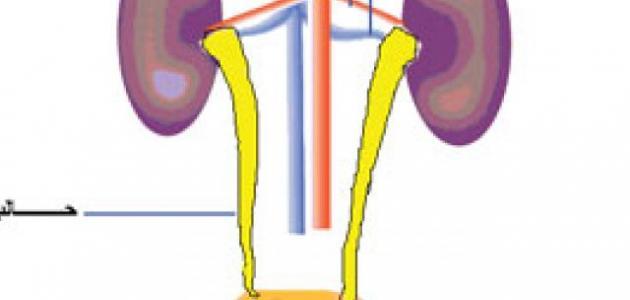 ما هو الجهاز البولي