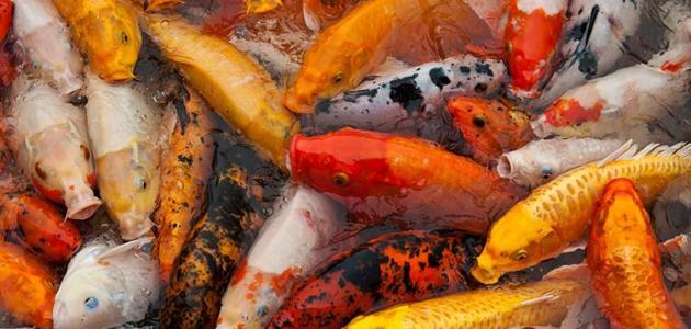 انواع سمك الزينة