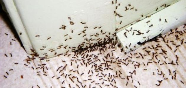 كيفية القضاء على النمل الصغير