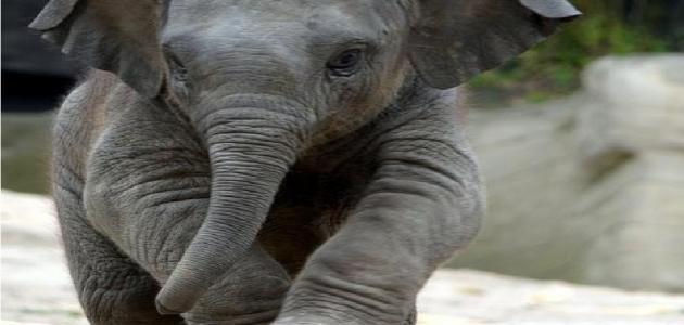 كيف ينام الفيل