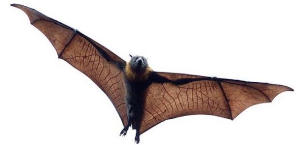 ما هو الخفاش