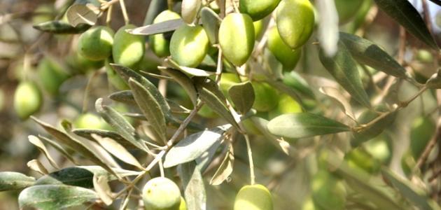 ثمار الزيتون