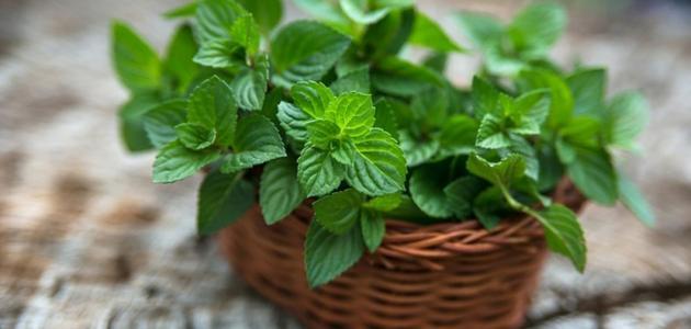 فوائد النعناع الأخضر للبشرة