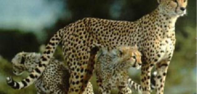 ما هو الفهد