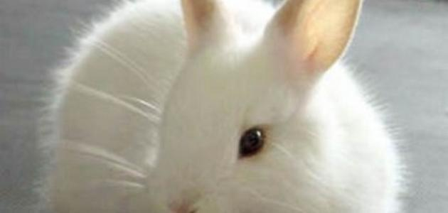 كم سنة يعيش الأرنب