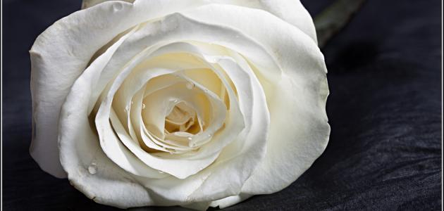 ما معنى الوردة البيضاء