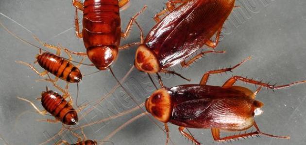 طرق مكافحة الصراصير المنزلية
