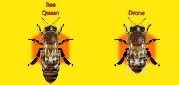 ماذا يسمى ذكر النحل
