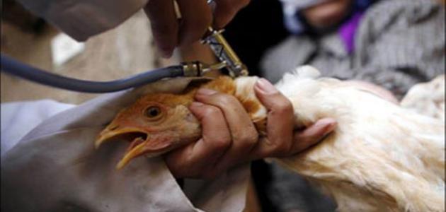 ما هي انفلونزا الطيور