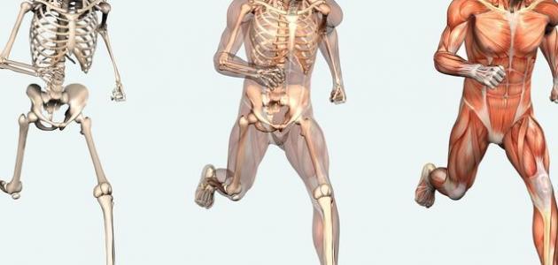أقوى عظم في جسم الإنسان