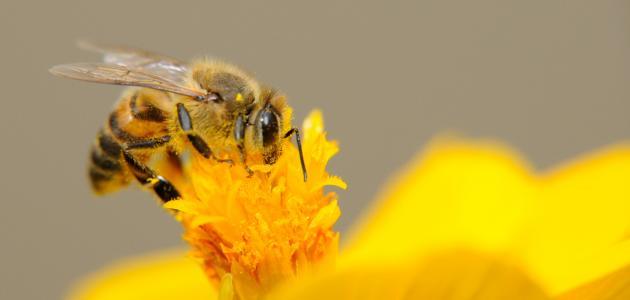 كيف تتنفس النحلة