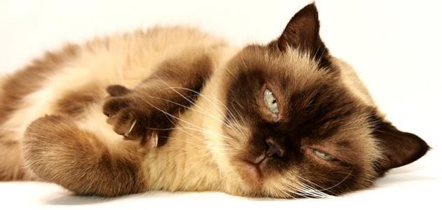 كيفية التخلص من براغيث القطط