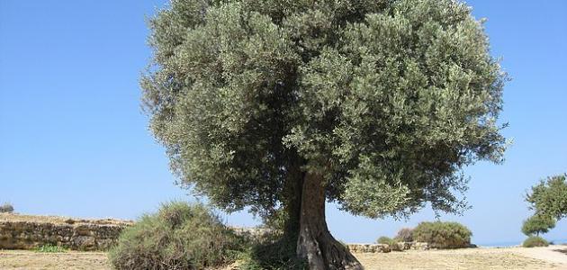 ما هي فوائد شجرة الزيتون