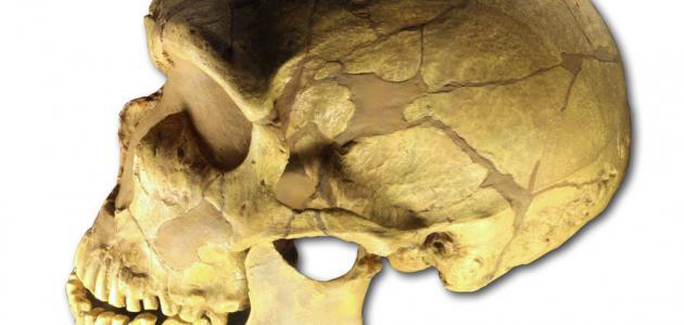 عدد عظام جمجمة الإنسان