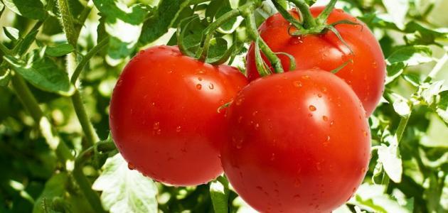كيفية زراعة بذور الطماطم