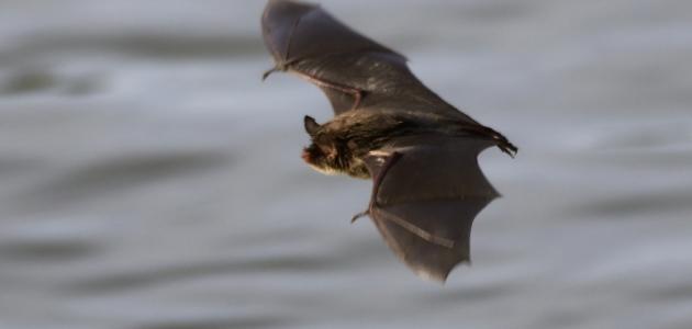 كيف يولد الخفاش