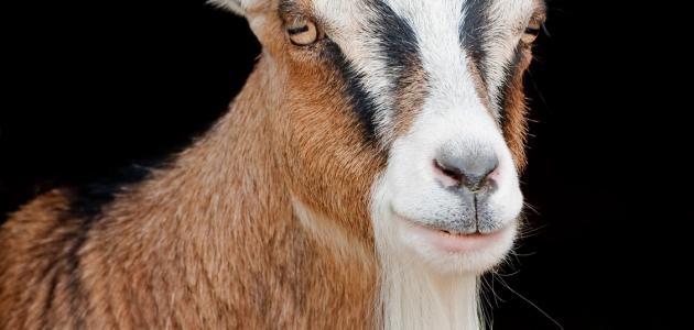 ما هو تدجين الحيوانات
