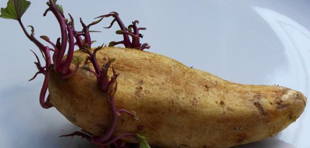طريقة زراعة البطاطس في المنزل
