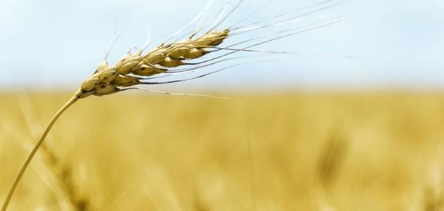 طريقة استخدام زيت جنين القمح