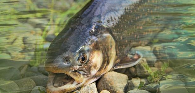 ما هو سمك السلمون