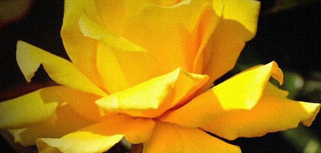ما معنى الوردة الصفراء موضوع
