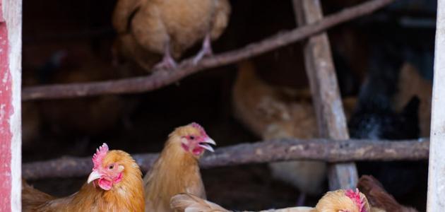 كيفية تربية الدجاج