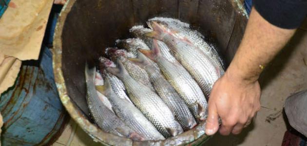 ما هو سمك الفسيخ