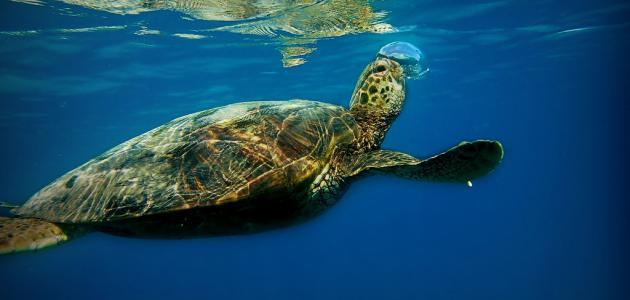 كيف تتنفس السلحفاة البحرية