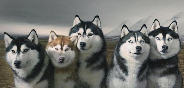 صفات كلاب الهاسكي