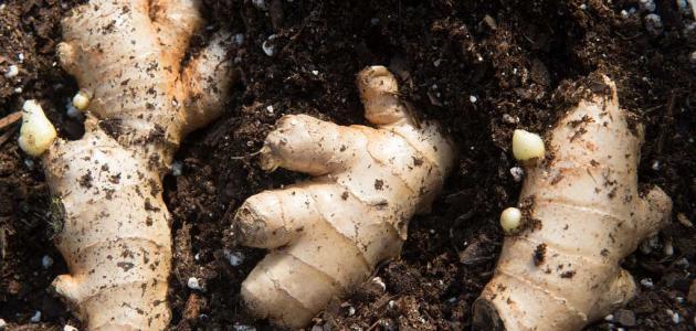 ما فوائد نبات الزنجبيل