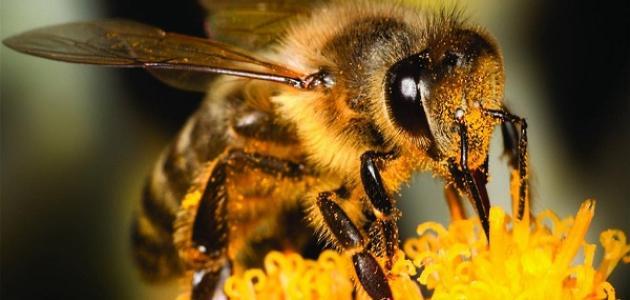 معلومات حول النحل